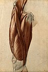 96px-Muscles_and_tendons_of_the_thigh._Red_chalk_and_pencil_drawi_Wellcome_V0008264